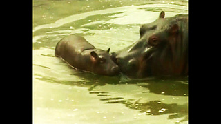 CUTE Baby Hippo - Video