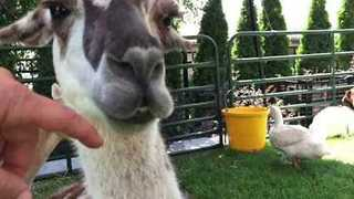 Man Opens Llama's Mouth to Examine Gums - Video