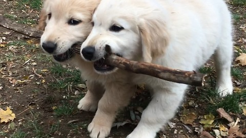 Golden Retriever puppies use teamwork to carry stick