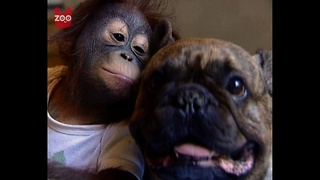 Bulldog Kisses Orangutan - Video