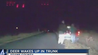 Deer wakes up in man's tunk - Video
