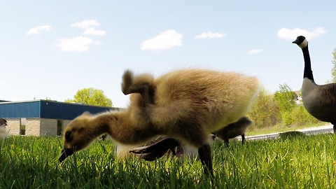 Fluffy goslings frolic under protective parents' watch