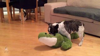 Pixel the French Bulldog wrestles an alligator - Video