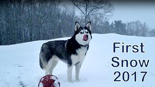 Husky in his element with season's first snowfall - Video
