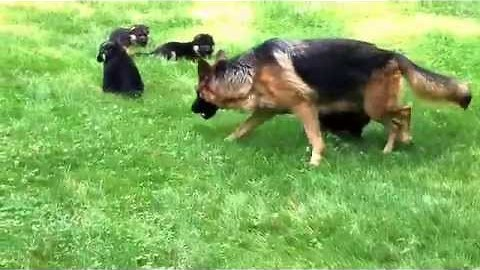 German shepherd mom & her pups