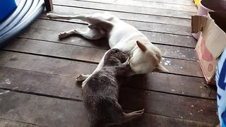 Unique animal friendships: Dog and otter playtime - Video