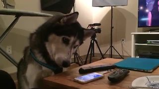 Husky extremely fascinated by Siri - Video