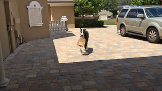 Katie the Great Dane delivers groceries in slow motion - Video