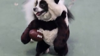 """Panda"" dog prepares for Super Bowl Sunday!"
