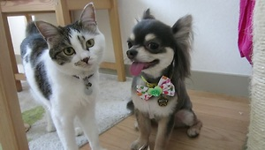 Curious cat inspects chihuahua's new haircut - Video