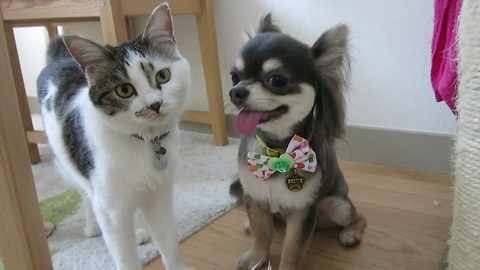 Curious cat inspects chihuahua's new haircut