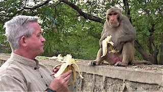 Tourist casually shares bananas with his wild monkey friends