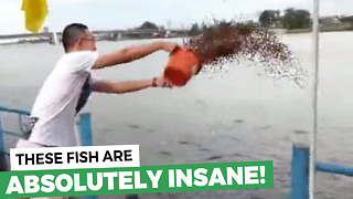 He Decides To Toss 23 Buckets Of Fish Food Into The Water. Keep Your Eyes On The Center - Video