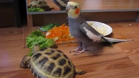 Parrot loses it after seeing turtle's reflection in mirror