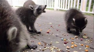 Family of Raccoons Visit House for Lunch - Video