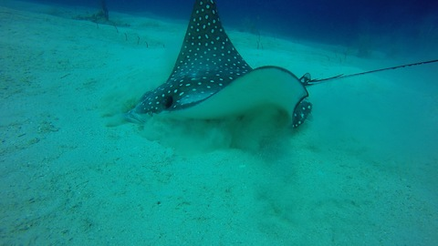 Gracious Eagle Ray eats in the sand, caught on tape.