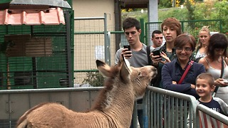 Meet Ippo The Zonkey - Video