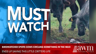 He Spots Cows Circling Baby Stuck In Mud. So He Gets A Closer Look, Can't Believe What He Sees - Video