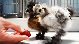 Newborn Silkie Chicks Get Excited For Their First Taste Of Strawberry