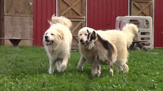 Jealous goat attempts to join dogs during playtime - Video