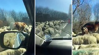 Bizarre moment a farmer's flock invades Italian highway, weaving through traffic causing chaos on the roads