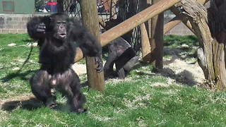 Chimpanzee hurls food at zoo visitors - Video
