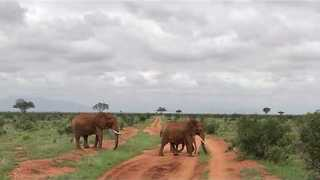 Beautiful Herd of Red Elephants Prowl Through Rural Kenya - Video