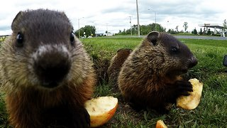 Adorable baby groundhogs are too busy to look for their shadow