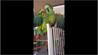 Amazon parrot plays peek-a-boo with owner