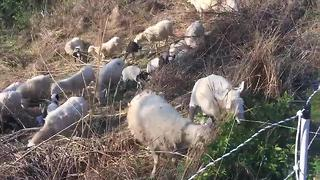 Sheep Hired By Metro Water Services - Video