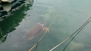 Rare Sea Turtle Spotted Swimming Near A Port In Greece - Video