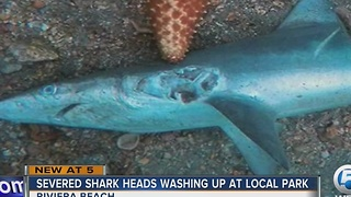 Severed shark heads washing up at local park - Video