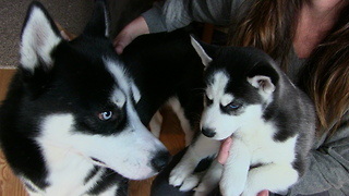 Husky Puppy Meets His Father For The First Time And It's Adorable