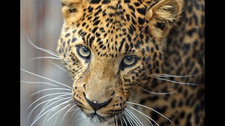 Top 5 Most Endangered Animals - Video