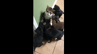Bewildered kitty is totally overwhelmed by litter of affectionate puppies