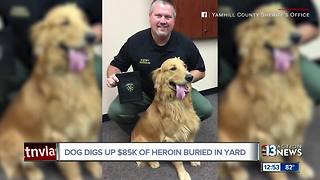 Dog digs up $85k of heroin buried in yard - Video