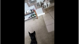 Cat avoids dog attack with incredible leap