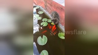 Fish comes to the surface of the water to kiss cat - Video