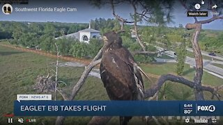 Eaglet takes flight
