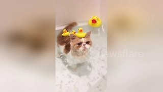 Just a cat enjoying a bath with rubber ducks - Video