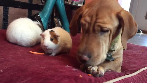 Dog enjoys carrot treat with guinea pig friends