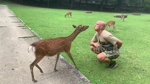 Deer-ly loved! Sacred animal gives man a kiss in Japanese park