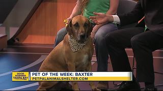 Pet of the week: Baxter is a 4-year-old hound mix who needs an active family - Video