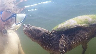 Wild snapping turtle extremely curious of human - Video