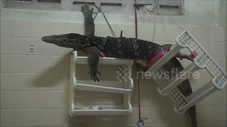 Monitor lizard found lounging on bathroom shelves