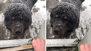 Huge Tibetan Mastiff incredibly does not like the snow