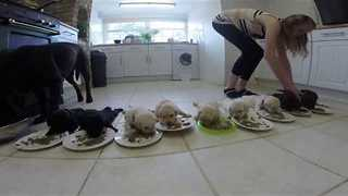Labrador Puppies weaning for the first time - Video