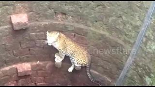 Agile leopard escapes watery grave after falling into deep well - Video