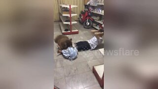 What a great personal trainer! Husky helps owner do sit-ups