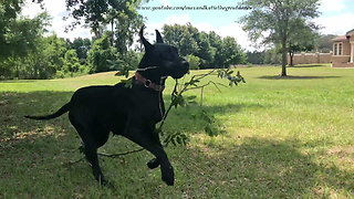 Joyful Adopted Great Dane Plays With Her First Stick